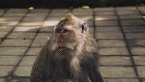 Retrato grande do macaco que mastiga algo filme