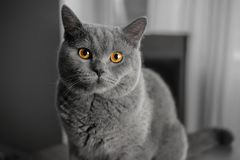 Retrato gris británico hermoso del primer del gato con los ojos amarillos fotografía de archivo libre de regalías