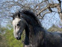 Retrato gris de la acción del caballo Imagen de archivo libre de regalías