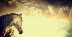 Retrato gris del caballo en hermoso en el fondo del cielo, bandera Imagenes de archivo