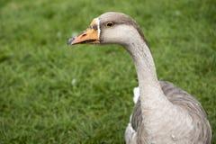 Retrato gris del ganso Fotografía de archivo libre de regalías