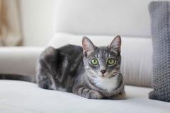 Retrato gris del gato en el sofá Foto de archivo libre de regalías