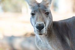 Retrato gris grande del canguro Fotografía de archivo