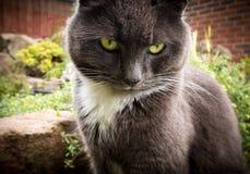 Retrato gris y blanco del gato Foto de archivo