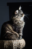 Retrato gris y negro del gato de mapache de Maine Fotografía de archivo libre de regalías