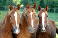 Retrato hermoso de los caballos de la castaña que muestra la cabeza y cuello y par fotos de archivo libres de regalías
