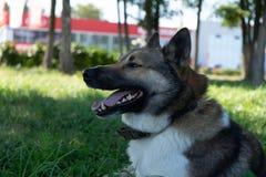 Retrato hermoso de un perro Laika siberiano Perro esquimal hermoso El perro es mejor amigo del ` s del hombre foto de archivo