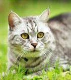 Retrato hermoso del gato de la furia fotografía de archivo