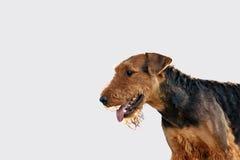 Retrato hermoso del perro del terrier del airedale fotografía de archivo libre de regalías