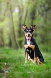 Retrato hermoso del perro en el medio del más forrest de primavera Fotos de archivo libres de regalías