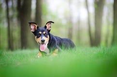 Retrato hermoso del perro en el medio del más forrest de primavera Imágenes de archivo libres de regalías