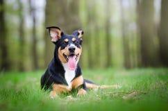 Retrato hermoso del perro en el medio del más forrest de primavera Foto de archivo libre de regalías