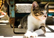 Retrato home asiático do gato Foto de Stock Royalty Free