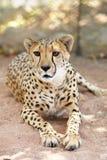 Retrato III del guepardo Foto de archivo libre de regalías