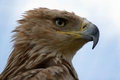 Retrato imperial da águia Fotografia de Stock Royalty Free