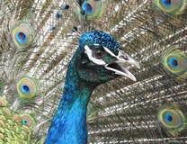 Retrato indio del pavo real imagen de archivo libre de regalías