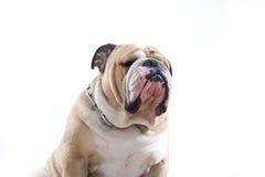 Retrato inglés del dogo Imagen de archivo
