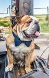 Retrato inglés del dogo Fotos de archivo libres de regalías