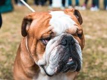 Retrato inglés del dogo Imagenes de archivo