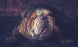 Retrato inglés del dogo Foto de archivo