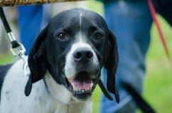 Retrato inglés del indicador del perro de caza Cierre para arriba foto de archivo libre de regalías