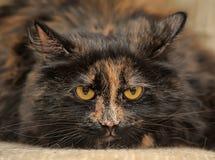 Retrato irritado do gato da concha de tartaruga Fotos de Stock Royalty Free