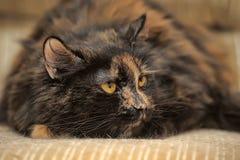 Retrato irritado do gato da concha de tartaruga Imagens de Stock