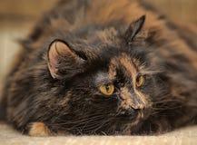 Retrato irritado do gato da concha de tartaruga Fotos de Stock