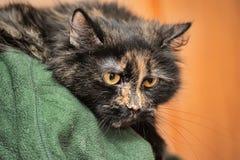 Retrato irritado do gato da concha de tartaruga Imagem de Stock Royalty Free