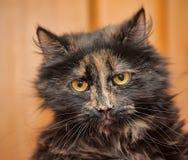Retrato irritado do gato da concha de tartaruga Foto de Stock Royalty Free