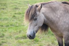 Retrato islandês do cavalo branco fotografia de stock