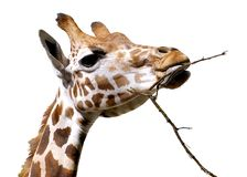 Retrato isolado do giraffe Fotografia de Stock Royalty Free