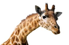 Retrato isolado do giraffe Foto de Stock Royalty Free