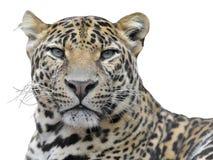 Retrato isolado do leopardo fotografia de stock royalty free