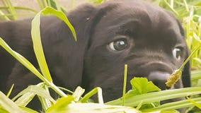 Retrato italiano da raça do corso bonito do bastão do cão do bebê contra a grama video estoque