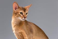 Retrato joven abisinio criado en línea pura del gato Foto de archivo