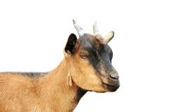 Retrato joven de la cabra de Brown sobre el fondo blanco Fotografía de archivo