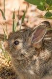 Retrato joven del conejo de conejo de rabo blanco Foto de archivo libre de regalías