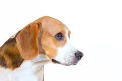 Retrato joven del estudio del perro del beagle Fotos de archivo libres de regalías