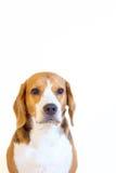 Retrato joven del estudio del perro del beagle Foto de archivo libre de regalías