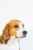 Retrato joven del estudio del perro del beagle Fotografía de archivo libre de regalías