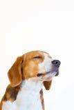 Retrato joven del estudio del perro del beagle Foto de archivo