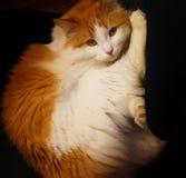 Retrato joven del gato Fotos de archivo libres de regalías