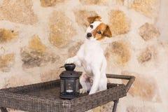 Retrato joven lindo del perro con su pata en una vela Backgrou de piedra Foto de archivo libre de regalías