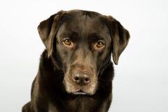 Retrato Labrador marrón viejo delante del fondo blanco Imagen de archivo