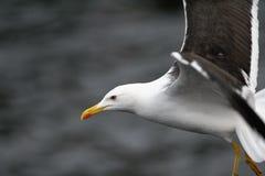 Retrato lateral da gaivota Fotografia de Stock Royalty Free