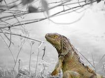 Retrato da iguana fotografia de stock royalty free