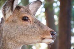 Retrato lateral de cervos selvagens Fotografia de Stock