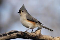 Retrato lateral de pássaro com crista fotografia de stock