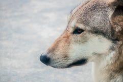 Retrato lateral de um lobo Fotografia de Stock Royalty Free